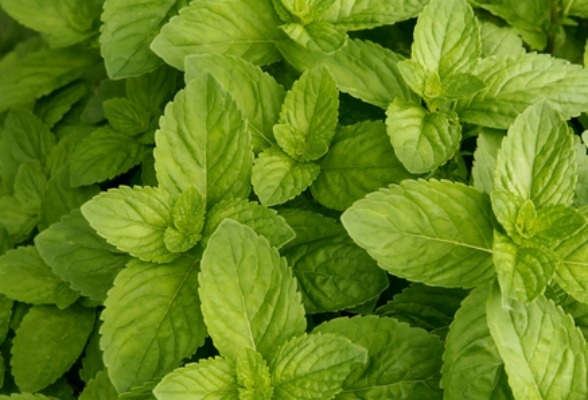 Spearmint: A Gardener's Enemy and a Chef's Friend
